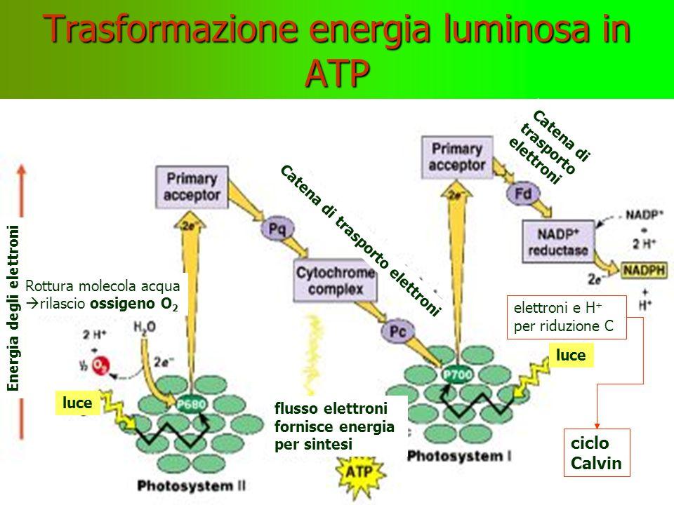 e — e H + energia per la riduzione di CO 2 OOC 3 2 e-2 e- fotosistema luce molecole clorofilla cloroplasto membrana esterna membrana interna grano 1 Oe-Oe- H H+H+ Oe-Oe- H Oe-Oe- H Oe-Oe- H H+H+ H+H+ H+H+ e-e- e-e- e-e- e-e- 2 3 H H O O H H ciclo Calvin H H O O H H elettroni Protoni H + Ioni ossidrile OH -