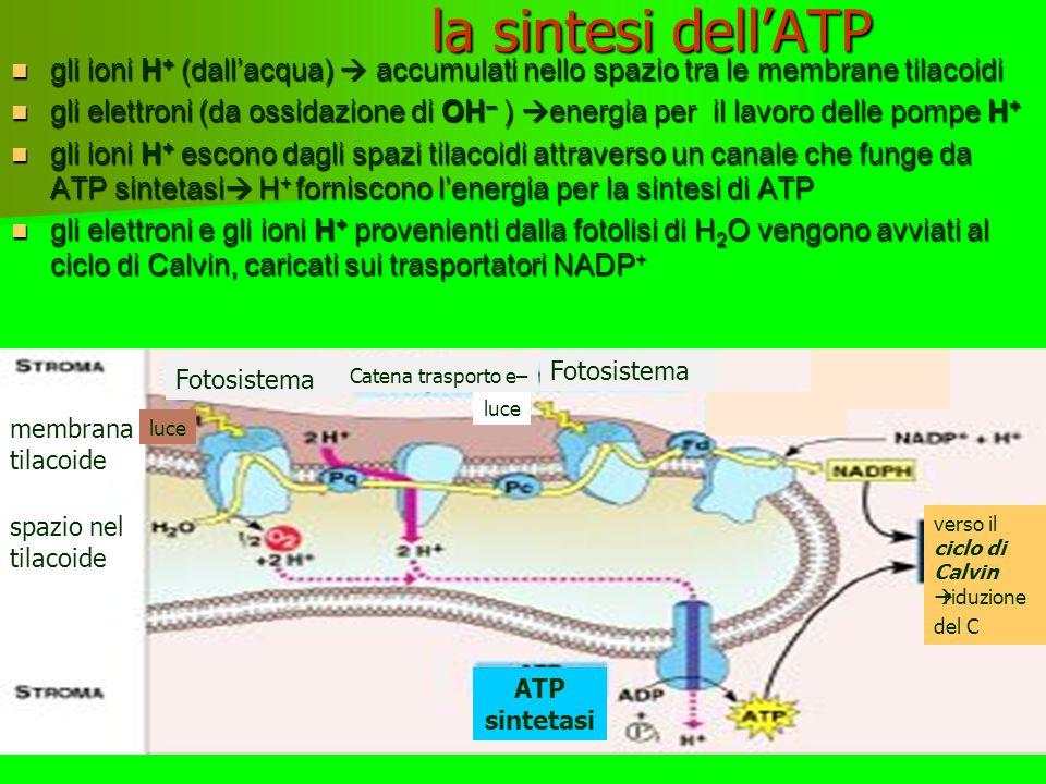 Trasformazione energia luminosa in ATP Rottura molecola acqua  rilascio ossigeno O 2 Energia degli elettroni Catena di trasporto elettroni flusso elettroni fornisce energia per sintesi Catena di trasporto elettroni luce elettroni e H + per riduzione C luce ciclo Calvin