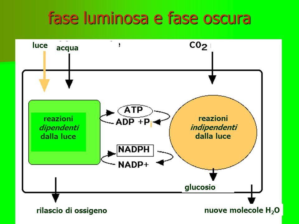 FOTOSINTESI: VISIONE D'INSIEME tilacoidi grano cloroplasto vacuolo fotone fotosistemi Pompe protoniche Interno tilacoide pH basso Stroma pH alto ATPsi