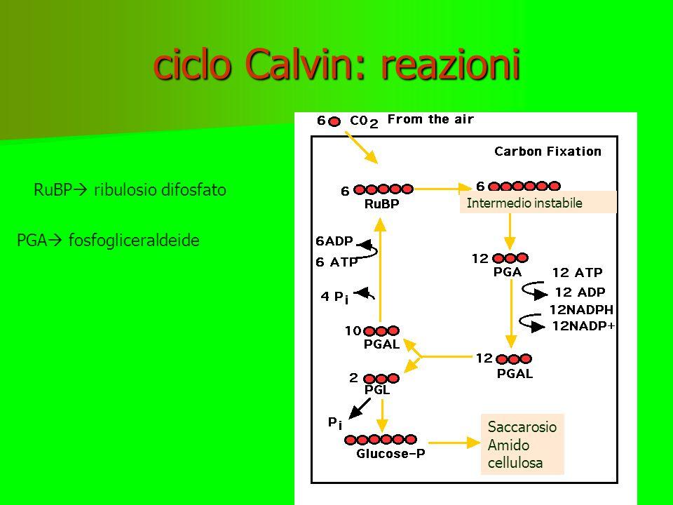 CICLO DI CALVIN Tre cicli di Calvin completi producono una molecola 3 C –G3P acido 3fosfoglicerico- Le molecole G3P vengono montate nel citoplasma a glucosio e ad altri composti organici Serie di reazioni cicliche che portano alla organicazione del carbonio della CO 2 con gli elettroni e i protoni scaricati dal NADPH e con l'energia accumulata nell'ATP della fase luminosa CO 2 ATP NADPH Ciclo Calvin G3P Glucosio Fruttosio Lipidi ….