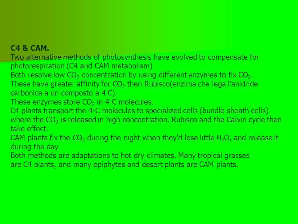 ciclo Calvin: reazioni RuBP  ribulosio difosfato PGA  fosfogliceraldeide Saccarosio Amido cellulosa Intermedio instabile