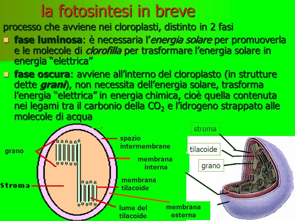 FOTOSINTESI: VISIONE D'INSIEME tilacoidi grano cloroplasto vacuolo fotone fotosistemi Pompe protoniche Interno tilacoide pH basso Stroma pH alto ATPsintetasi