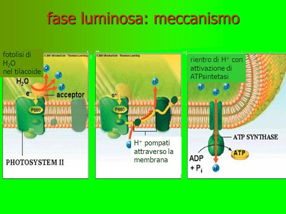 FASE LUMINOSA: il ruolo della luce La luce colpisce i fotosistemi II e I La luce colpisce i fotosistemi II e I Gli atomi di magnesio della clorofilla espellono elettroni e - carichi dell'energia solare Gli atomi di magnesio della clorofilla espellono elettroni e - carichi dell'energia solare con questi elettroni viene compiuto nel cloroplasto il lavoro di riduzione del carbonio della CO 2 con questi elettroni viene compiuto nel cloroplasto il lavoro di riduzione del carbonio della CO 2 fotosistema molecole clorofilla e- luce
