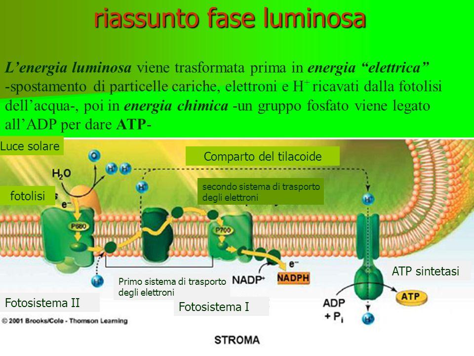 riassunto fase luminosa L'energia luminosa viene trasformata prima in energia elettrica -spostamento di particelle cariche, elettroni e H + ricavati dalla fotolisi dell'acqua-, poi in energia chimica -un gruppo fosfato viene legato all'ADP per dare ATP- Luce solare Comparto del tilacoide Primo sistema di trasporto degli elettroni secondo sistema di trasporto degli elettroni fotolisi ATP sintetasi Fotosistema II Fotosistema I