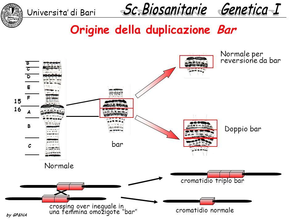 Origine della duplicazione Bar Universita' di Bari by GP&NA Normale per reversione da bar Doppio bar B C D F E B A C 15 16 Normale bar crossing over i