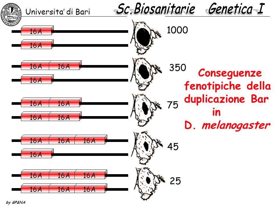Conseguenze fenotipiche della duplicazione Bar in D. melanogaster 75 25 Universita' di Bari by GP&NA 45 350 1000 16A