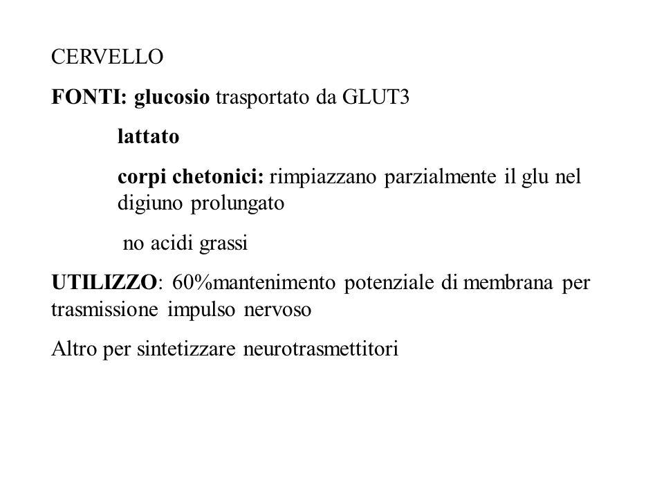 CERVELLO FONTI: glucosio trasportato da GLUT3 lattato corpi chetonici: rimpiazzano parzialmente il glu nel digiuno prolungato no acidi grassi UTILIZZO