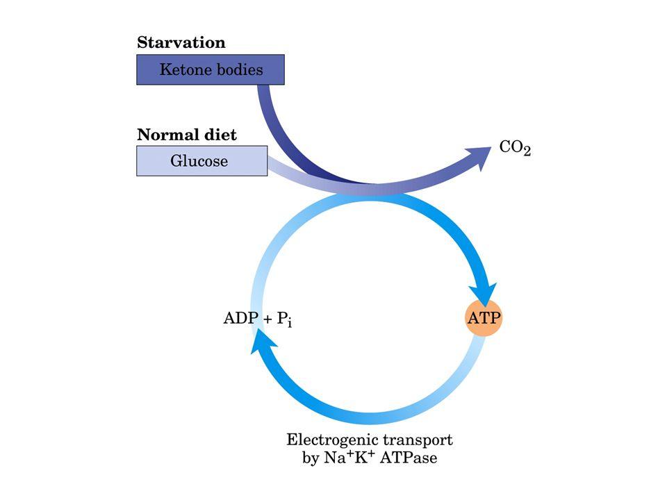 MUSCOLO SCHELETRICO FONTE: acidi grassi, glucosio, aa, corpi chetonici A riposo o bassa attività: 85% acidi grassi, aa, corpi chetonici Degradazione aa: piruvato - ala- epatocita - glucosio (ciclo alanina-glucosio) In fase di intensa contrazione.