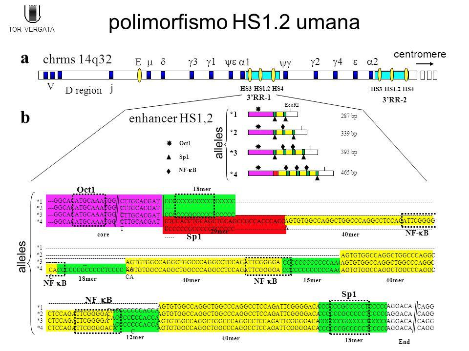 polimorfismo HS1.2 umana CCCCCCGCCCCCTCCCCCAGTGTGGCCAGGCTGGCCCAGGCCTCCAGATTCGGGGACA CACCCCCCCACCA C CTCCAGATTCGGGGACA CACCCCCCCACCA C Sp1 CTCCAGATTCGGGGA NF-  B b 12mer 40mer *1 *2 *3 *4 CAGG End 18mer -------------------------------------------------------- - CTCCAGATTCGGGGA AGGACA AGTGTGGCCAGGCTGGCCCAGGCCTCCAGATTCGGGGA CA CCCCCCCCCCCCAAC AGTGTGGCCAGGCTGGCCCAGGC ------------------------------------------------------------------------------------------------------------------------------------------------------ ------ 18mer 40mer15mer40mer *1 *2 *3 *4 NF-  B ------------------------------------------------------------------------------------------------------------------------------------------------------------------------------------------------------- ----- ----------------------------------------- -- CACCCCCCGCCCCCTCCCC C CTCCACCTGCAGCTGCAGCCGCCACCCACC C ---GGCACATGCAAATGG AGTGTGGCCAGGCTGGCCCAGGCCTCCAGATTCGGGG A CCCCCCGCCCCCTCCCCC----------------------------------------------------------------------------------------------------- ----- Oct1 18mer 40mer Sp1 core 29mer *1 *2 *3 *4 CTTGCACGAT T NF-  B AGTGTGGCCAGGCTGGCCCAGGCCTCCAGATTCGGGGACA CCCCCCGCCCCCTCCCCC enhancer HS1,2 339 bp 287 bp 465 bp 393 bp EcoRI Oct1 NF-  B Sp1 *2 *1 *3 *4 alleles 3'RR-1 3'RR-2 HS3 HS1.2 HS4 a chrms 14q32 22 33 11 22 44   j V D region 11E  centromere HS3 HS1.2 HS4 TOR VERGATA