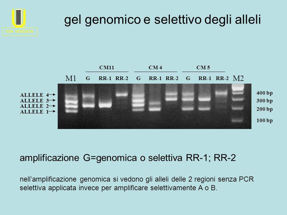 M2M1 ALLELE 1 ALLELE 4 ALLELE 3 ALLELE 2 GRR-1RR-2GRR-1RR-2 CM11CM 4CM 5 GRR-1RR-2 100 bp 400 bp 200 bp 300 bp gel genomico e selettivo degli alleli amplificazione G=genomica o selettiva RR-1; RR-2 nell'amplificazione genomica si vedono gli alleli delle 2 regioni senza PCR selettiva applicata invece per amplificare selettivamente A o B.