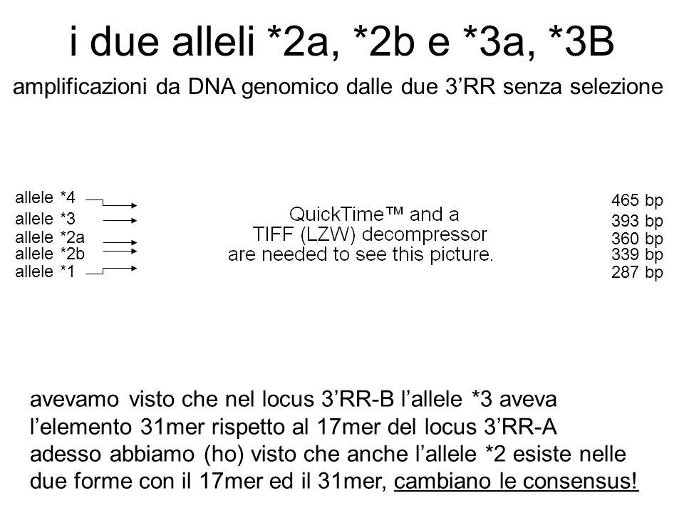 i due alleli *2a, *2b e *3a, *3B avevamo visto che nel locus 3'RR-B l'allele *3 aveva l'elemento 31mer rispetto al 17mer del locus 3'RR-A adesso abbiamo (ho) visto che anche l'allele *2 esiste nelle due forme con il 17mer ed il 31mer, cambiano le consensus.