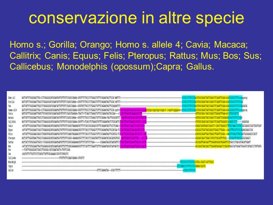 conservazione in altre specie Homo s.; Gorilla; Orango; Homo s.