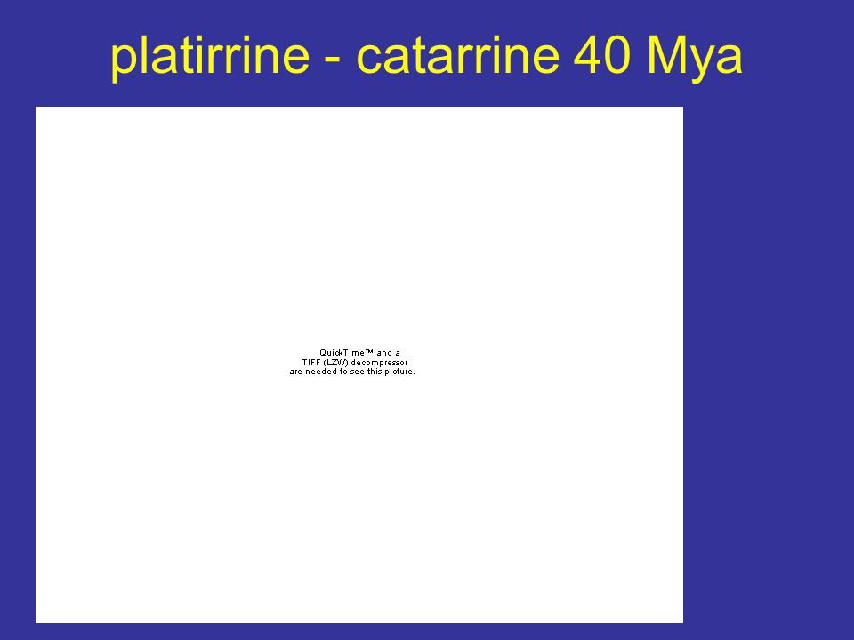 platirrine - catarrine 40 Mya