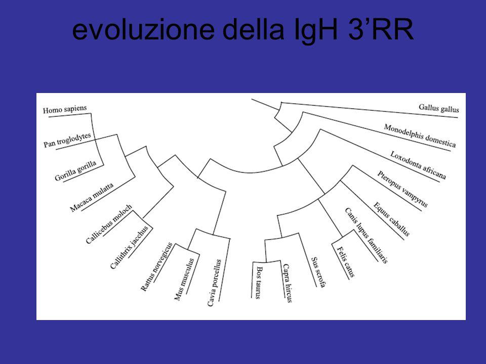 evoluzione della IgH 3'RR