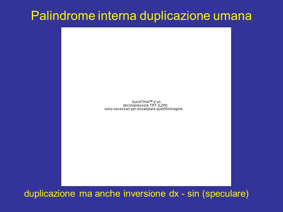 Palindrome interna duplicazione umana duplicazione ma anche inversione dx - sin (speculare)