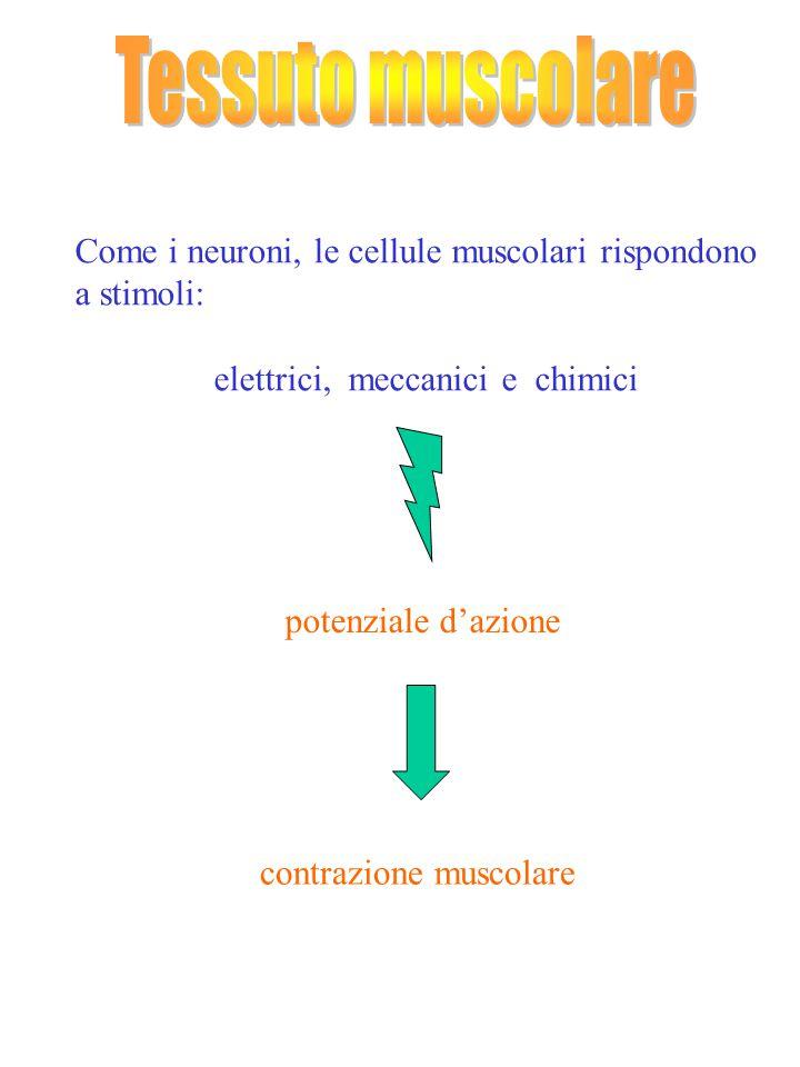 Come i neuroni, le cellule muscolari rispondono a stimoli: elettrici, meccanici e chimici potenziale d'azione contrazione muscolare