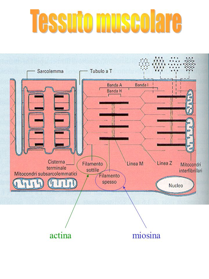 actinamiosina