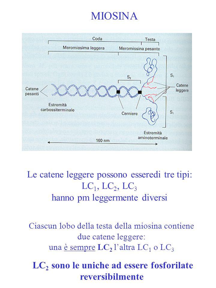 MIOSINA Le catene leggere possono esseredi tre tipi: LC 1, LC 2, LC 3 hanno pm leggermente diversi Ciascun lobo della testa della miosina contiene due