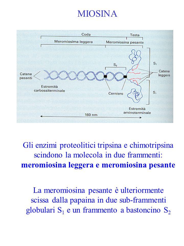 MIOSINA Gli enzimi proteolitici tripsina e chimotripsina scindono la molecola in due frammenti: meromiosina leggera e meromiosina pesante La meromiosi