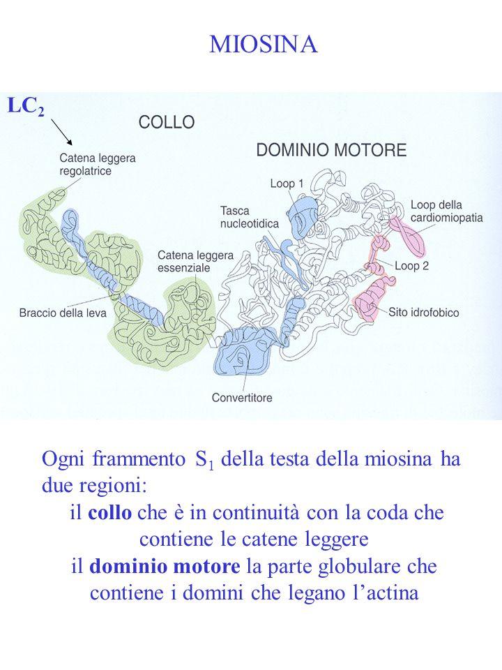 MIOSINA Ogni frammento S 1 della testa della miosina ha due regioni: il collo che è in continuità con la coda che contiene le catene leggere il domini