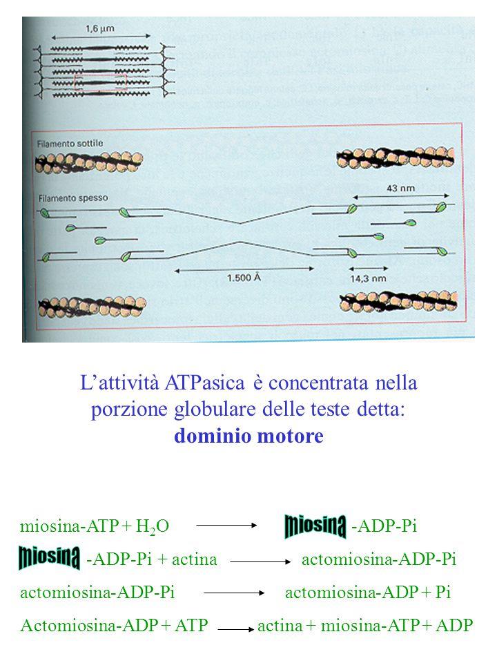 L'attività ATPasica è concentrata nella porzione globulare delle teste detta: dominio motore miosina-ATP + H 2 O -ADP-Pi -ADP-Pi + actina actomiosina-