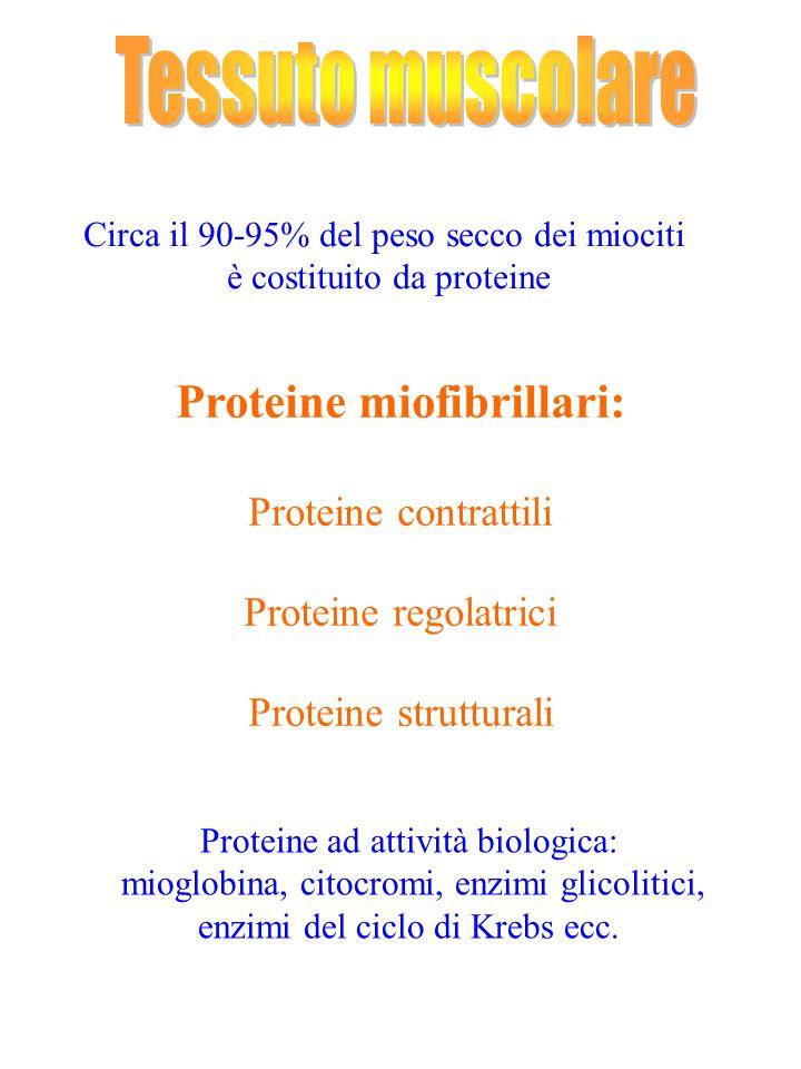 Circa il 90-95% del peso secco dei miociti è costituito da proteine Proteine miofibrillari: Proteine contrattili Proteine regolatrici Proteine struttu
