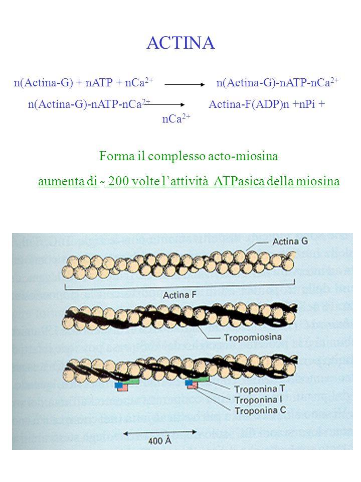 ACTINA n(Actina-G) + nATP + nCa 2+ n(Actina-G)-nATP-nCa 2+ n(Actina-G)-nATP-nCa 2+ Actina-F(ADP)n +nPi + nCa 2+ Forma il complesso acto-miosina aument