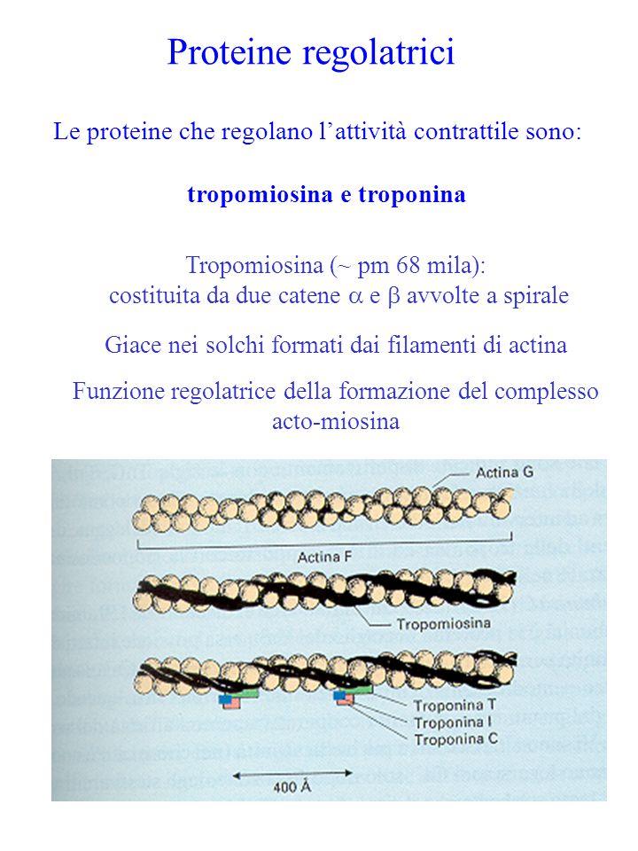 Proteine regolatrici Le proteine che regolano l'attività contrattile sono: tropomiosina e troponina Tropomiosina (~ pm 68 mila): costituita da due cat