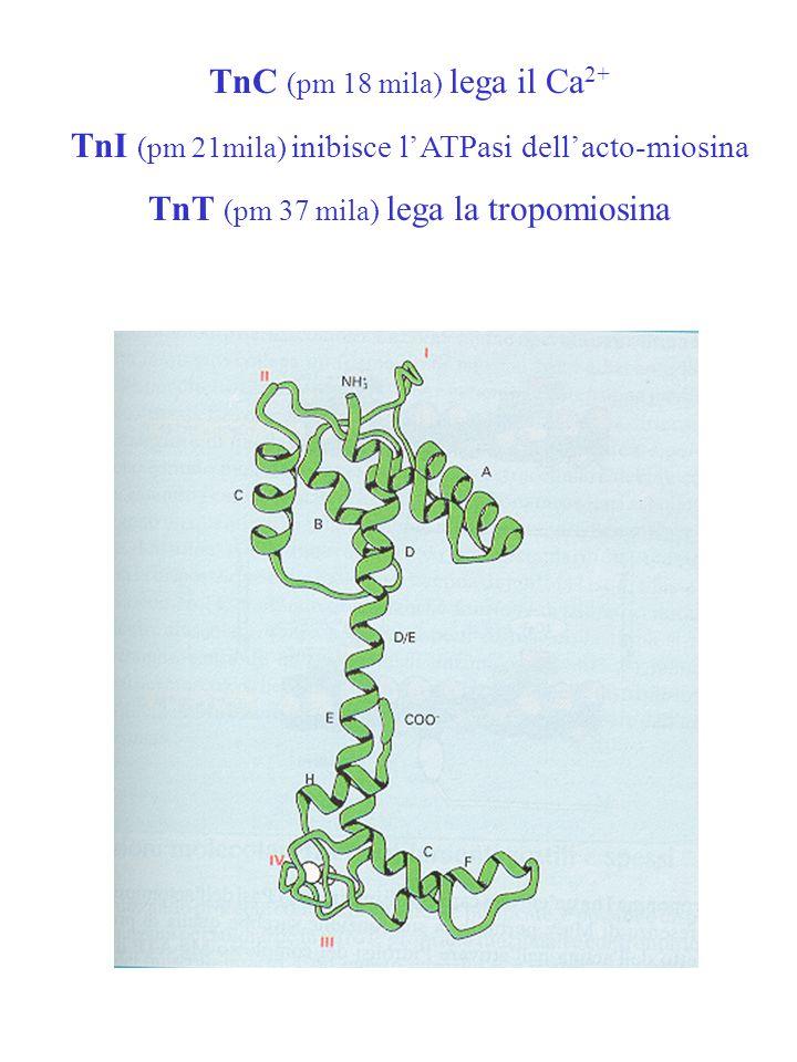 TnC (pm 18 mila) lega il Ca 2+ TnI (pm 21mila) inibisce l'ATPasi dell'acto-miosina TnT (pm 37 mila) lega la tropomiosina
