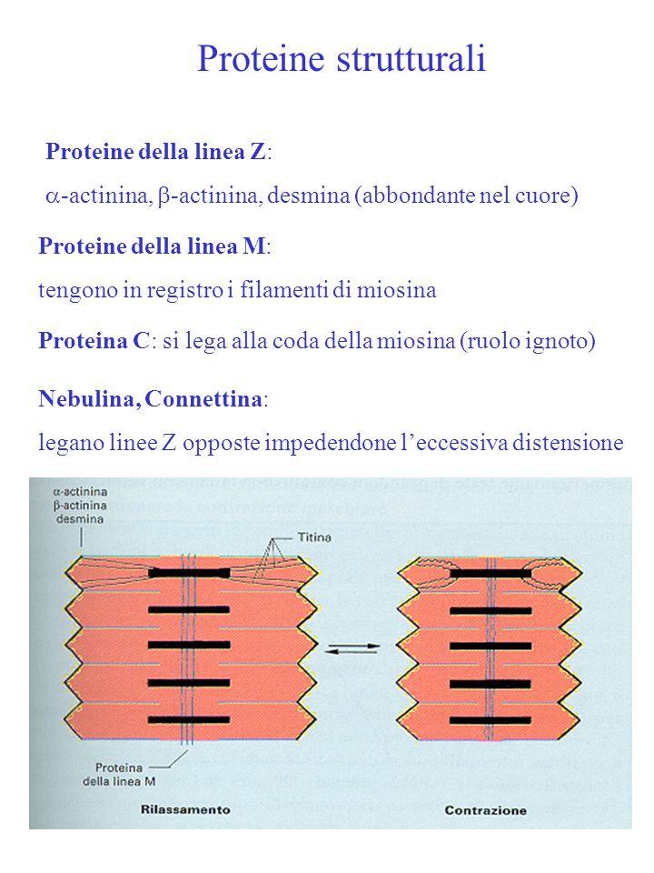 Proteine strutturali Proteine della linea Z:  -actinina,  -actinina, desmina (abbondante nel cuore) Proteine della linea M: tengono in registro i fi