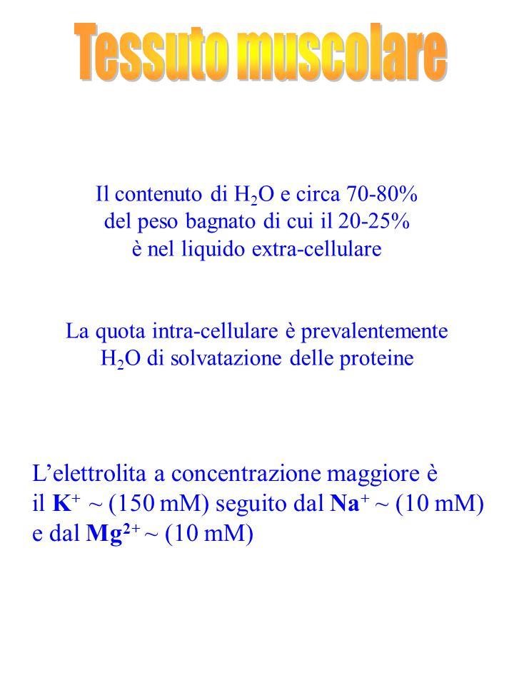 Il contenuto di H 2 O e circa 70-80% del peso bagnato di cui il 20-25% è nel liquido extra-cellulare La quota intra-cellulare è prevalentemente H 2 O