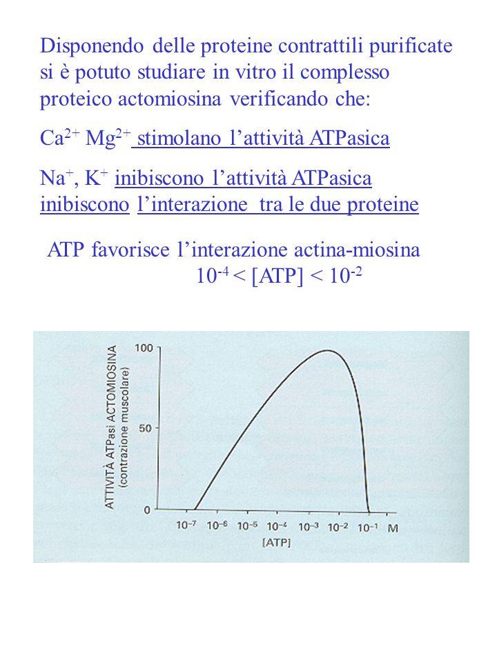 Disponendo delle proteine contrattili purificate si è potuto studiare in vitro il complesso proteico actomiosina verificando che: Ca 2+ Mg 2+ stimolan