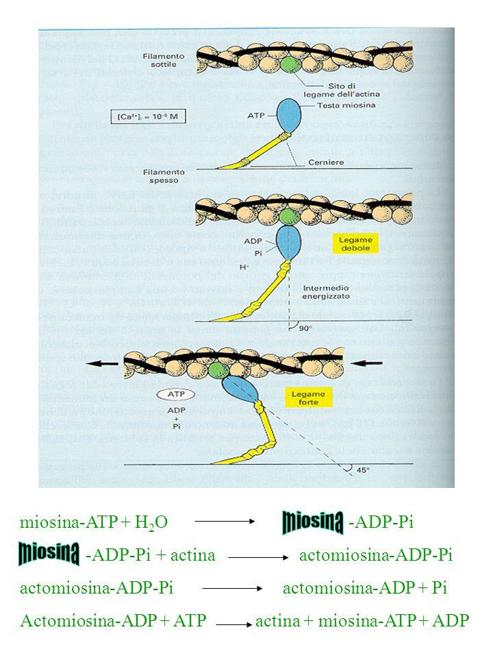 miosina-ATP + H 2 O -ADP-Pi -ADP-Pi + actina actomiosina-ADP-Pi actomiosina-ADP-Piactomiosina-ADP + Pi Actomiosina-ADP + ATP actina + miosina-ATP + AD