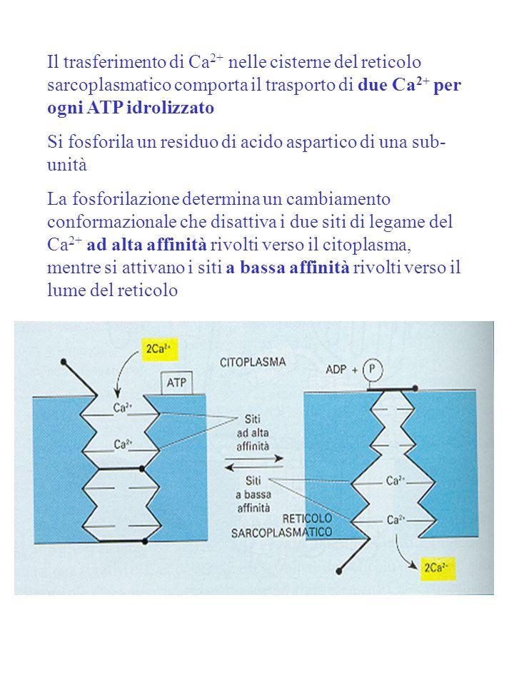 Il trasferimento di Ca 2+ nelle cisterne del reticolo sarcoplasmatico comporta il trasporto di due Ca 2+ per ogni ATP idrolizzato Si fosforila un resi