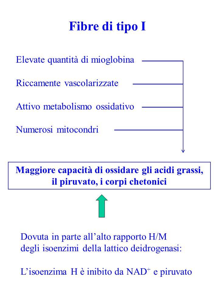 Fibre di tipo I Elevate quantità di mioglobina Riccamente vascolarizzate Attivo metabolismo ossidativo Numerosi mitocondri Maggiore capacità di ossida