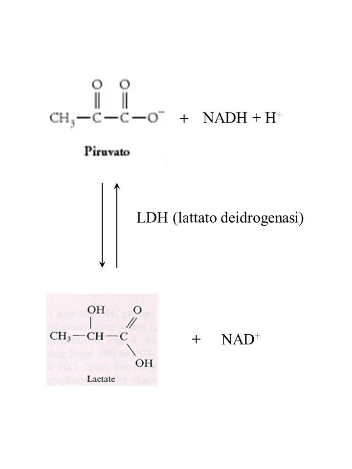 NADH + H + NAD + + + LDH (lattato deidrogenasi)