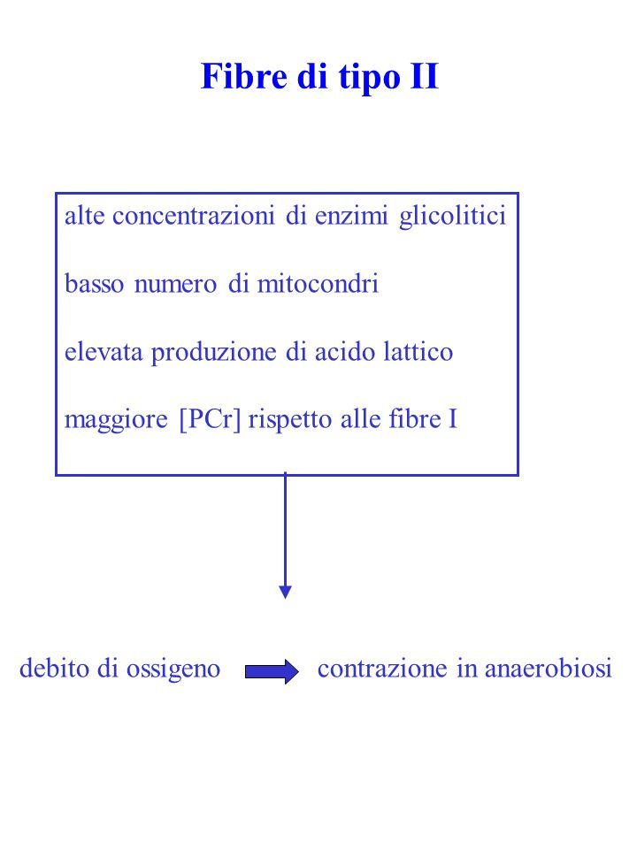 Fibre di tipo II alte concentrazioni di enzimi glicolitici basso numero di mitocondri elevata produzione di acido lattico maggiore [PCr] rispetto alle