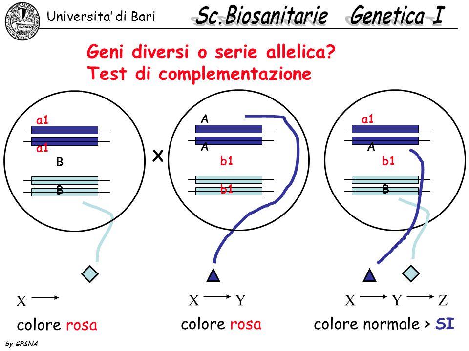 Geni diversi o serie allelica? Test di complementazione a1 B X colore rosa A b1 XYXY colore rosa a1 A b1 B XYZXYZ colore normale > SI X Universita' di