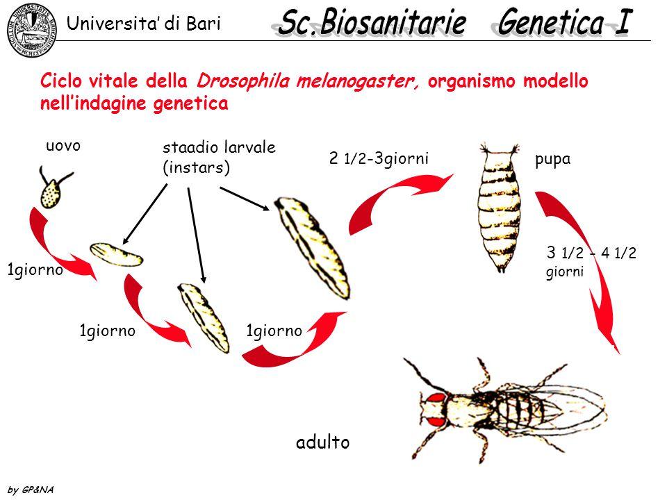 Ciclo vitale della Drosophila melanogaster, organismo modello nell'indagine genetica uovo staadio larvale (instars) 1giorno 2 1/2 -3giornipupa 3 1/2 - 4 1/2 giorni adulto Universita' di Bari by GP&NA