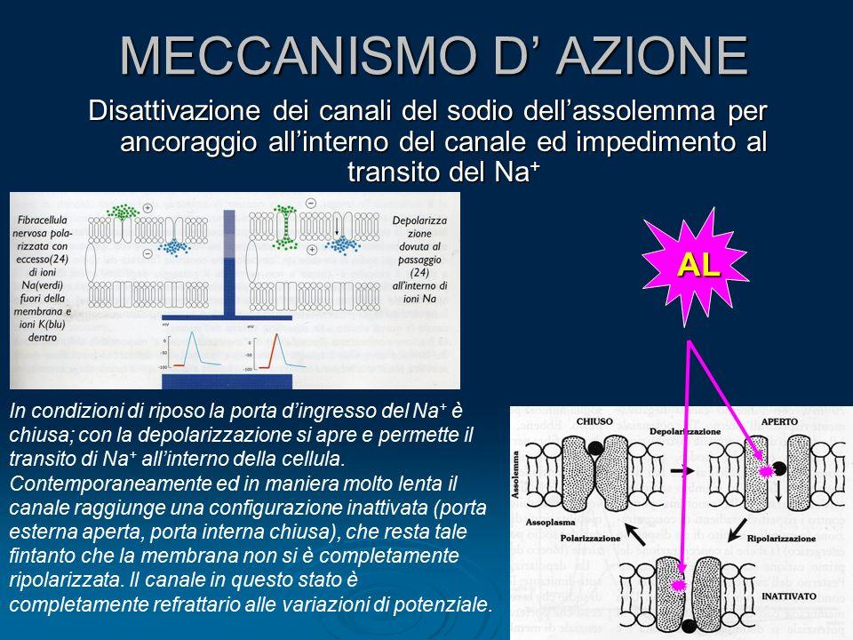 MECCANISMO D' AZIONE Disattivazione dei canali del sodio dell'assolemma per ancoraggio all'interno del canale ed impedimento al transito del Na + In c