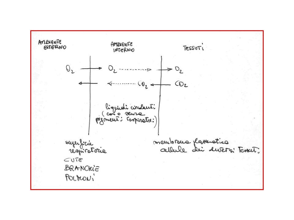 Anidride carbonica Fisicamente disciolta Sotto forma di bicarbonato (circa 70%) Legata alla emoglobina (circa 25%)