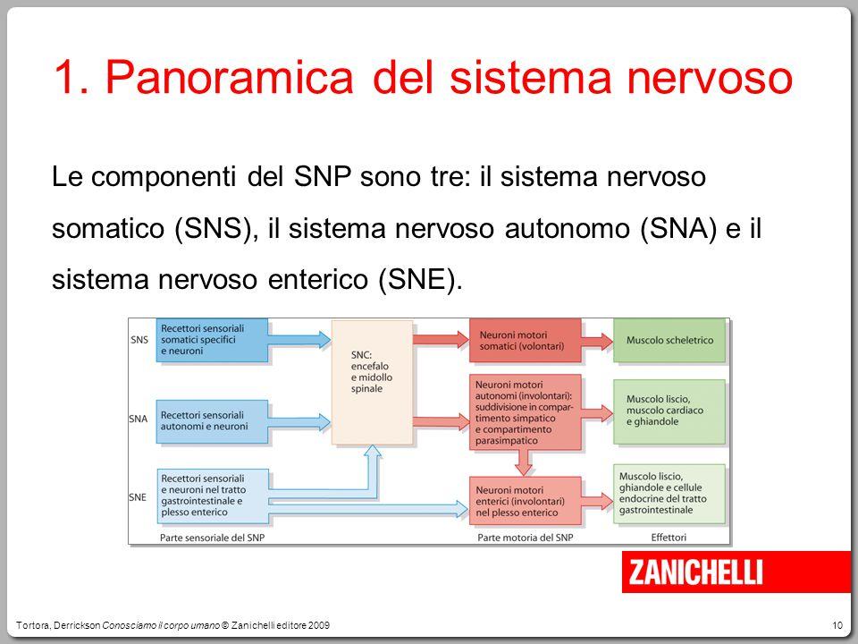 10 Le componenti del SNP sono tre: il sistema nervoso somatico (SNS), il sistema nervoso autonomo (SNA) e il sistema nervoso enterico (SNE).