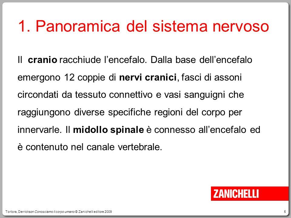 6 1.Panoramica del sistema nervoso Dal midollo spinale emergono 31 coppie di nervi spinali.