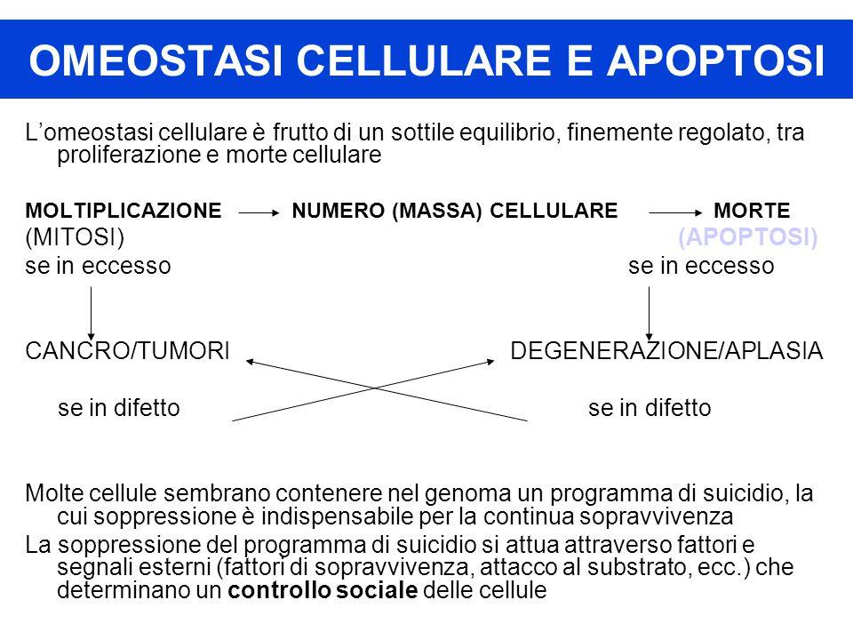 OMEOSTASI CELLULARE E APOPTOSI L'omeostasi cellulare è frutto di un sottile equilibrio, finemente regolato, tra proliferazione e morte cellulare MOLTIPLICAZIONE NUMERO (MASSA) CELLULARE MORTE (MITOSI) (APOPTOSI) se in eccesso CANCRO/TUMORI DEGENERAZIONE/APLASIA se in difetto se in difetto Molte cellule sembrano contenere nel genoma un programma di suicidio, la cui soppressione è indispensabile per la continua sopravvivenza La soppressione del programma di suicidio si attua attraverso fattori e segnali esterni (fattori di sopravvivenza, attacco al substrato, ecc.) che determinano un controllo sociale delle cellule
