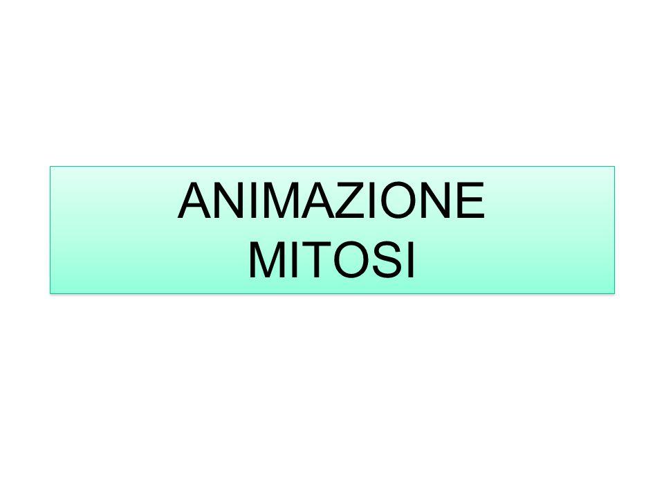 ANIMAZIONE MITOSI ANIMAZIONE MITOSI
