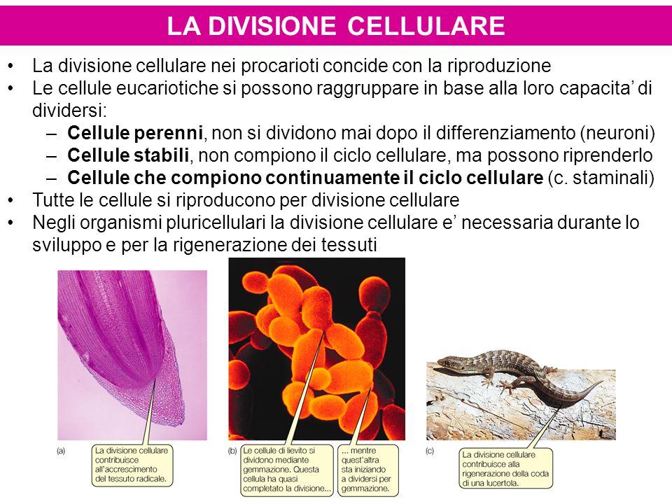 LA DIVISIONE CELLULARE La divisione cellulare nei procarioti concide con la riproduzione Le cellule eucariotiche si possono raggruppare in base alla loro capacita' di dividersi: –Cellule perenni, non si dividono mai dopo il differenziamento (neuroni) –Cellule stabili, non compiono il ciclo cellulare, ma possono riprenderlo –Cellule che compiono continuamente il ciclo cellulare (c.