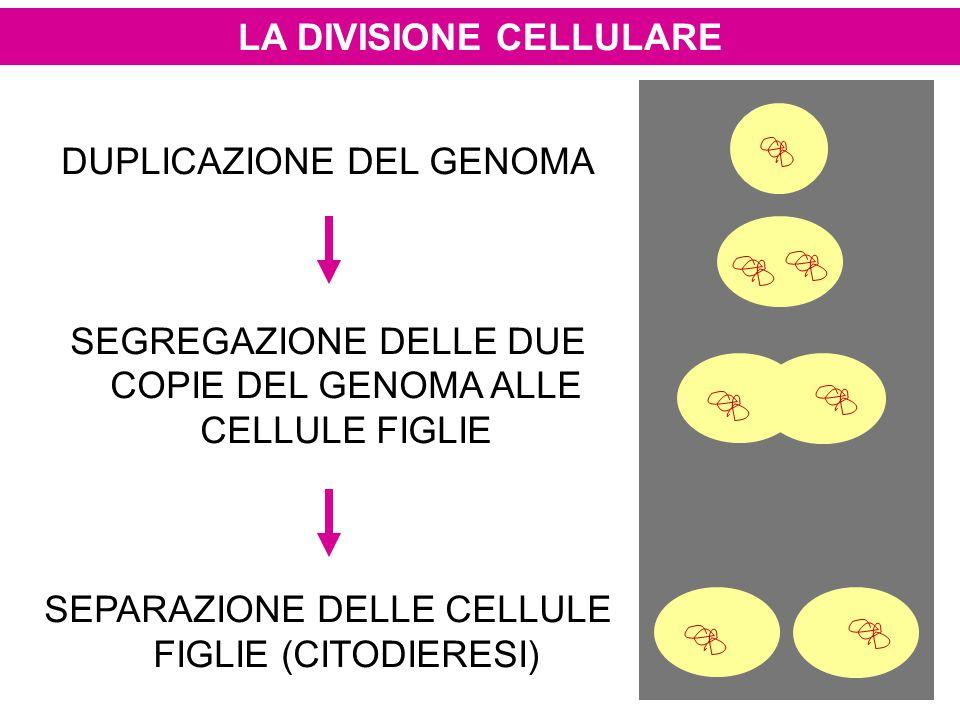 LA DIVISIONE CELLULARE DUPLICAZIONE DEL GENOMA SEGREGAZIONE DELLE DUE COPIE DEL GENOMA ALLE CELLULE FIGLIE SEPARAZIONE DELLE CELLULE FIGLIE (CITODIERE