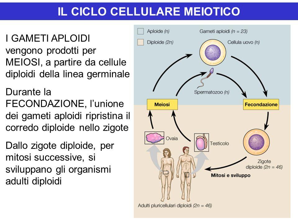 IL CICLO CELLULARE MEIOTICO I GAMETI APLOIDI vengono prodotti per MEIOSI, a partire da cellule diploidi della linea germinale Durante la FECONDAZIONE, l'unione dei gameti aploidi ripristina il corredo diploide nello zigote Dallo zigote diploide, per mitosi successive, si sviluppano gli organismi adulti diploidi