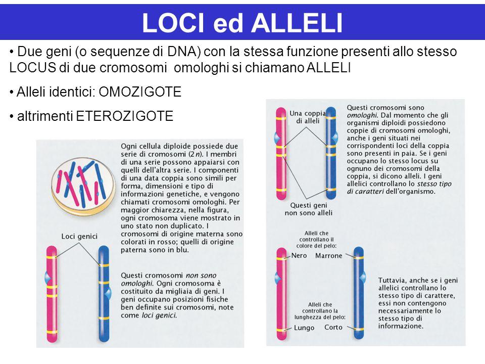 LOCI ed ALLELI Due geni (o sequenze di DNA) con la stessa funzione presenti allo stesso LOCUS di due cromosomi omologhi si chiamano ALLELI Alleli identici: OMOZIGOTE altrimenti ETEROZIGOTE