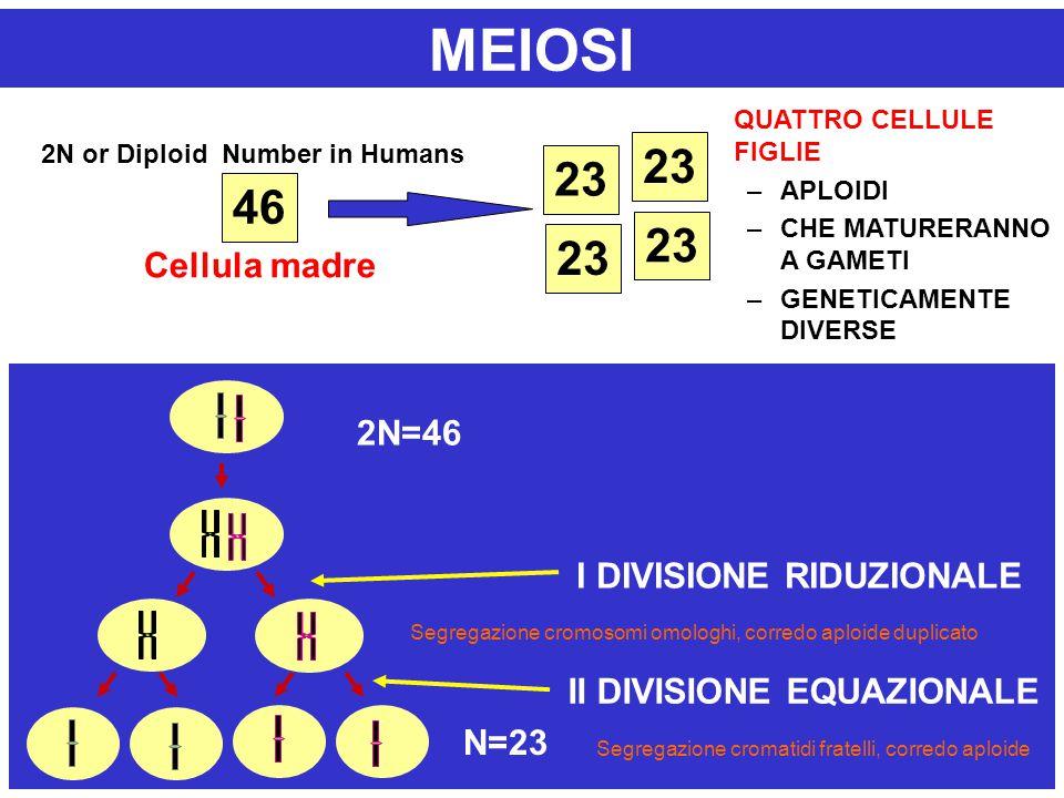 46 23 2N or Diploid Number in Humans Cellula madre QUATTRO CELLULE FIGLIE –APLOIDI –CHE MATURERANNO A GAMETI –GENETICAMENTE DIVERSE MEIOSI N 2N=46 N=2